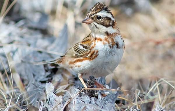 Овсянка-птица-Описание-особенности-виды-образ-жизни-и-среда-обитания-овсянки-6