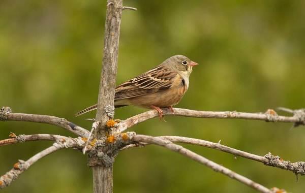 Овсянка-птица-Описание-особенности-виды-образ-жизни-и-среда-обитания-овсянки-7