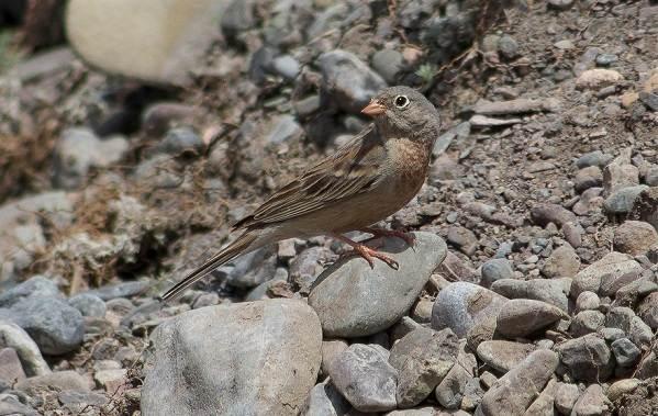 Овсянка-птица-Описание-особенности-виды-образ-жизни-и-среда-обитания-овсянки-8