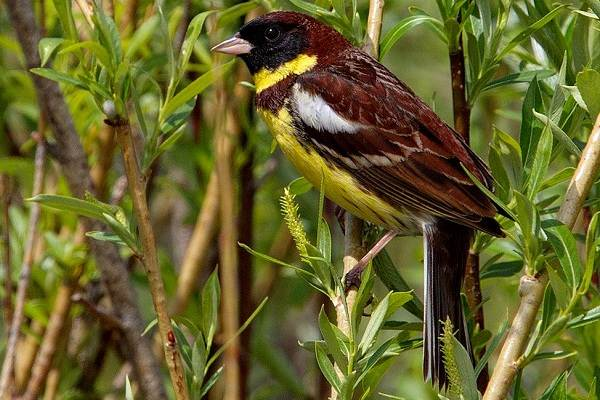 Овсянка-птица-Описание-особенности-виды-образ-жизни-и-среда-обитания-овсянки-9