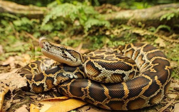 Питон-змея-Описание-особенности-виды-образ-жизни-и-среда-обитания-питона-1