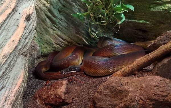 Питон-змея-Описание-особенности-виды-образ-жизни-и-среда-обитания-питона-10
