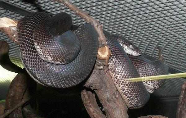 Питон-змея-Описание-особенности-виды-образ-жизни-и-среда-обитания-питона-11