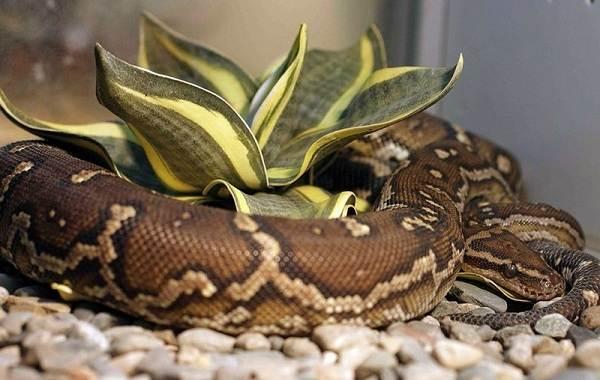 Питон-змея-Описание-особенности-виды-образ-жизни-и-среда-обитания-питона-12