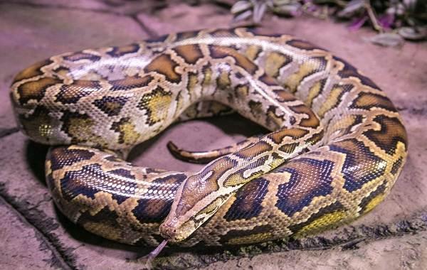 Питон-змея-Описание-особенности-виды-образ-жизни-и-среда-обитания-питона-13