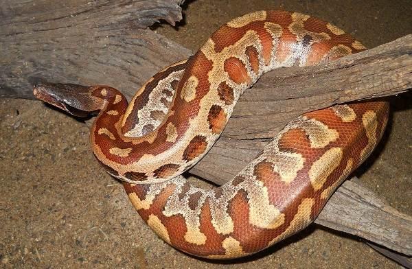 Питон-змея-Описание-особенности-виды-образ-жизни-и-среда-обитания-питона-14