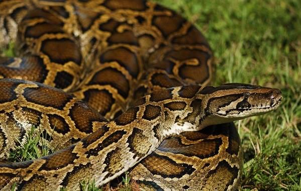 Питон-змея-Описание-особенности-виды-образ-жизни-и-среда-обитания-питона-17