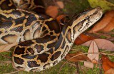 Питон змея. Описание, особенности, виды, образ жизни и среда обитания питона