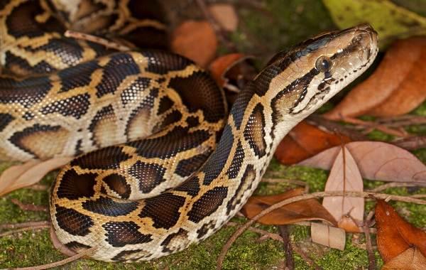 Питон-змея-Описание-особенности-виды-образ-жизни-и-среда-обитания-питона-18