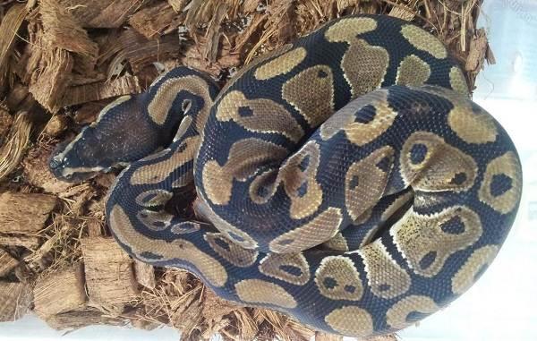 Питон-змея-Описание-особенности-виды-образ-жизни-и-среда-обитания-питона-19