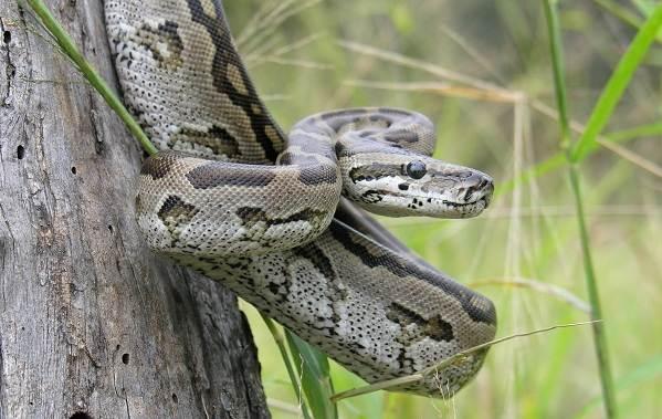 Питон-змея-Описание-особенности-виды-образ-жизни-и-среда-обитания-питона-20