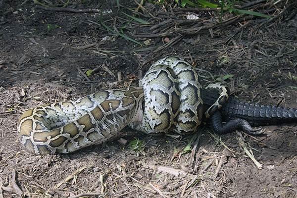Питон-змея-Описание-особенности-виды-образ-жизни-и-среда-обитания-питона-23