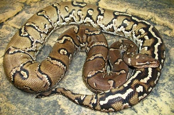 Питон-змея-Описание-особенности-виды-образ-жизни-и-среда-обитания-питона-25