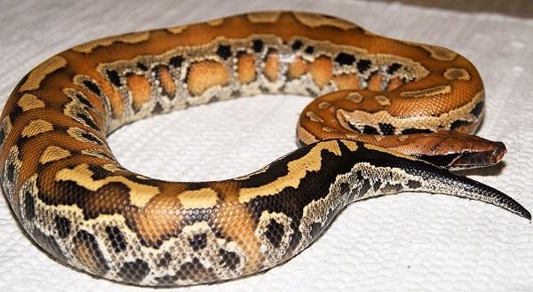 Питон-змея-Описание-особенности-виды-образ-жизни-и-среда-обитания-питона-26
