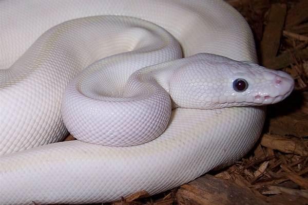 Питон-змея-Описание-особенности-виды-образ-жизни-и-среда-обитания-питона-4