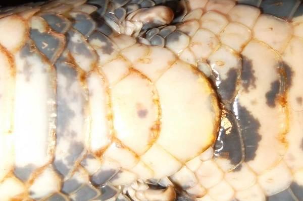 Питон-змея-Описание-особенности-виды-образ-жизни-и-среда-обитания-питона-6