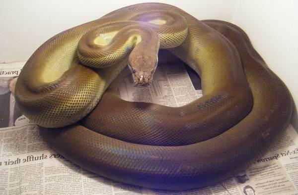 Питон-змея-Описание-особенности-виды-образ-жизни-и-среда-обитания-питона-8