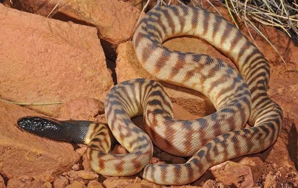 Питон-змея-Описание-особенности-виды-образ-жизни-и-среда-обитания-питона-9
