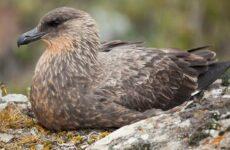 Поморник птица. Описание, особенности, виды, образ жизни и среда обитания поморника