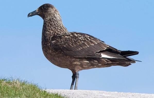 Поморник-птица-Описание-особенности-виды-образ-жизни-и-среда-обитания-поморника-11