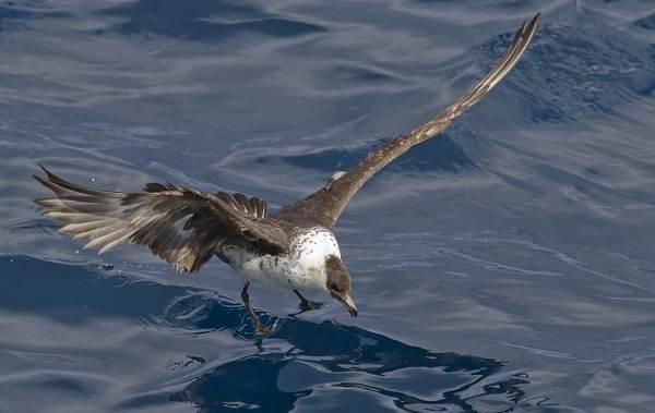 Поморник-птица-Описание-особенности-виды-образ-жизни-и-среда-обитания-поморника-12