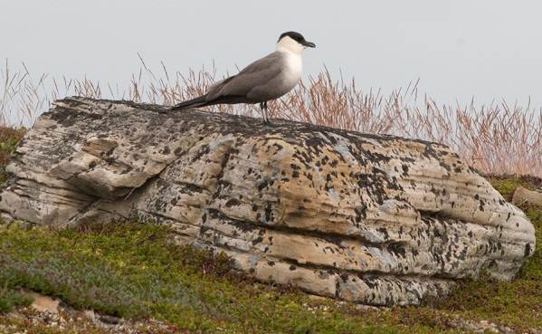 Поморник-птица-Описание-особенности-виды-образ-жизни-и-среда-обитания-поморника-13