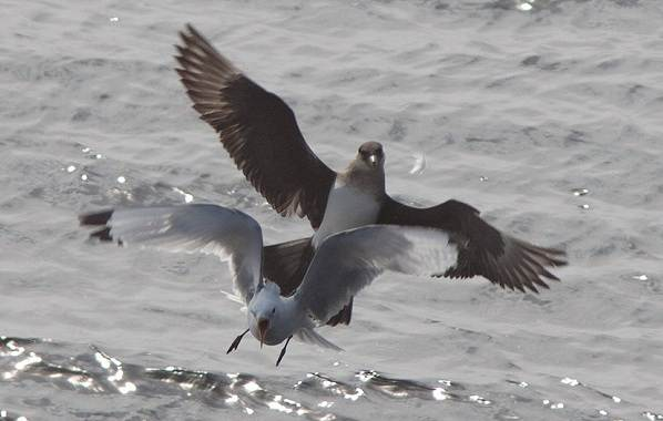 Поморник-птица-Описание-особенности-виды-образ-жизни-и-среда-обитания-поморника-15