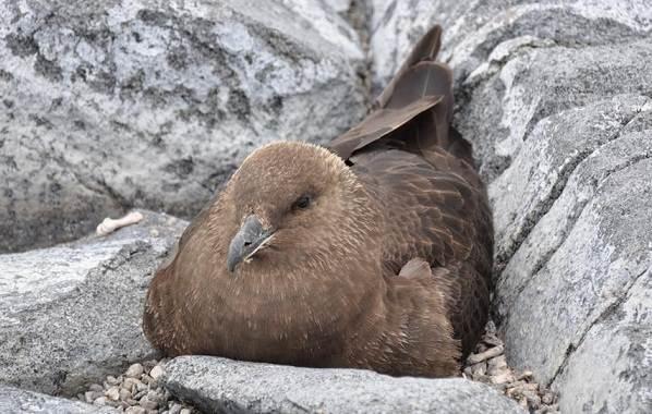 Поморник-птица-Описание-особенности-виды-образ-жизни-и-среда-обитания-поморника-17