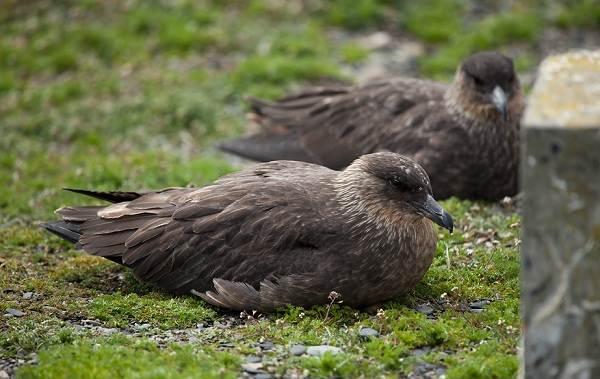 Поморник-птица-Описание-особенности-виды-образ-жизни-и-среда-обитания-поморника-2