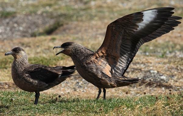Поморник-птица-Описание-особенности-виды-образ-жизни-и-среда-обитания-поморника-4