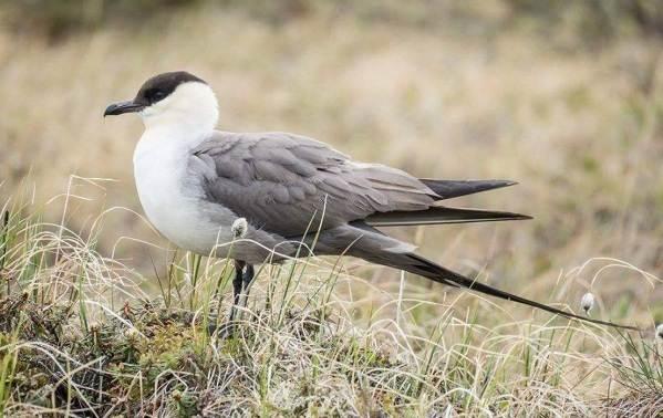 Поморник-птица-Описание-особенности-виды-образ-жизни-и-среда-обитания-поморника-5