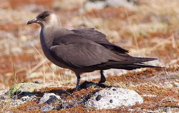 Поморник-птица-Описание-особенности-виды-образ-жизни-и-среда-обитания-поморника-6