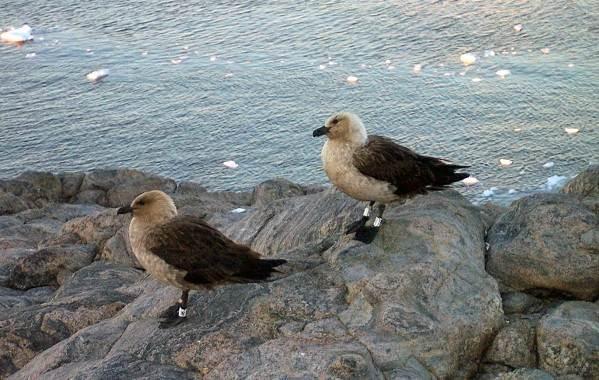 Поморник-птица-Описание-особенности-виды-образ-жизни-и-среда-обитания-поморника-8