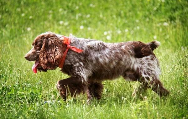 Русский-кокер-спаниель-собака-Описание-особенности-уход-и-цена-породы-1