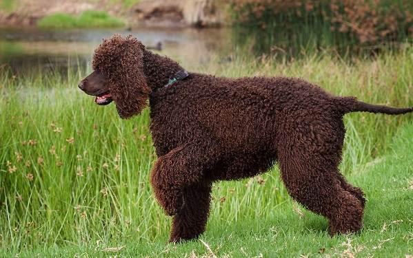 Русский-кокер-спаниель-собака-Описание-особенности-уход-и-цена-породы-10