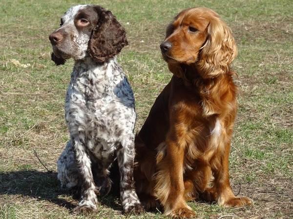 Русский-кокер-спаниель-собака-Описание-особенности-уход-и-цена-породы-12
