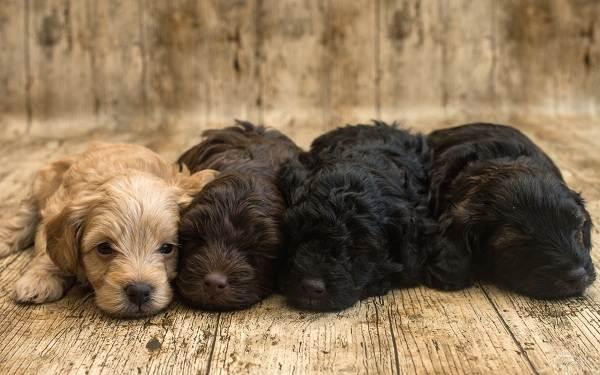 Русский-кокер-спаниель-собака-Описание-особенности-уход-и-цена-породы-14