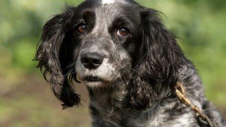 Русский кокер спаниель собака. Описание, особенности, уход и цена породы