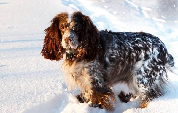 Русский-кокер-спаниель-собака-Описание-особенности-уход-и-цена-породы-3