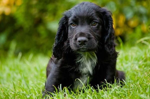 Русский-кокер-спаниель-собака-Описание-особенности-уход-и-цена-породы-4