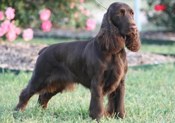 Русский-кокер-спаниель-собака-Описание-особенности-уход-и-цена-породы-5
