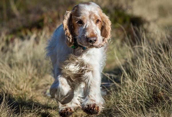 Русский-кокер-спаниель-собака-Описание-особенности-уход-и-цена-породы-8