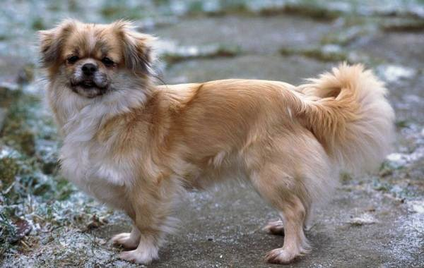 Русский-кокер-спаниель-собака-Описание-особенности-уход-и-цена-породы-9