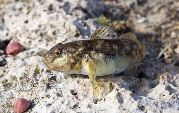 Рыба-бычок-Описание-особенности-виды-образ-жизни-и-среда-обитания-рыбы-бычок-1