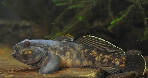 Рыба-бычок-Описание-особенности-виды-образ-жизни-и-среда-обитания-рыбы-бычок-11