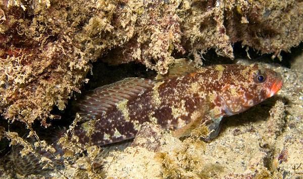 Рыба-бычок-Описание-особенности-виды-образ-жизни-и-среда-обитания-рыбы-бычок-12