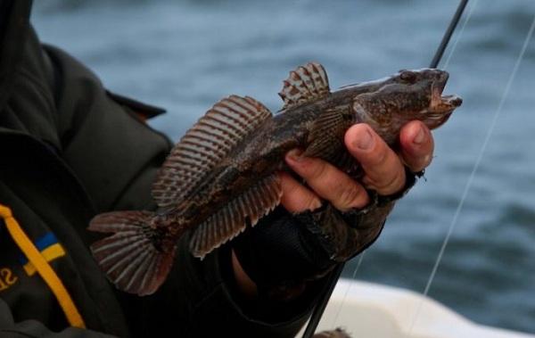 Рыба-бычок-Описание-особенности-виды-образ-жизни-и-среда-обитания-рыбы-бычок-15