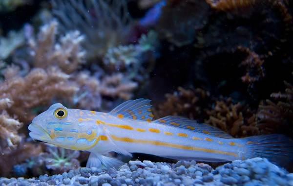 Рыба-бычок-Описание-особенности-виды-образ-жизни-и-среда-обитания-рыбы-бычок-6