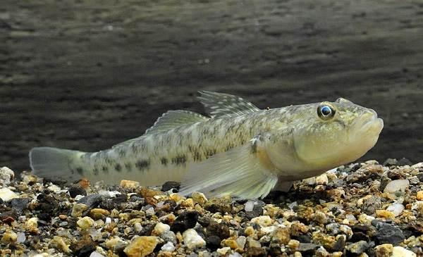 Рыба-бычок-Описание-особенности-виды-образ-жизни-и-среда-обитания-рыбы-бычок-9