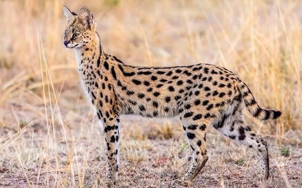 Сервал-животное-Описание-особенности-виды-образ-жизни-и-среда-обитания-сервала-11